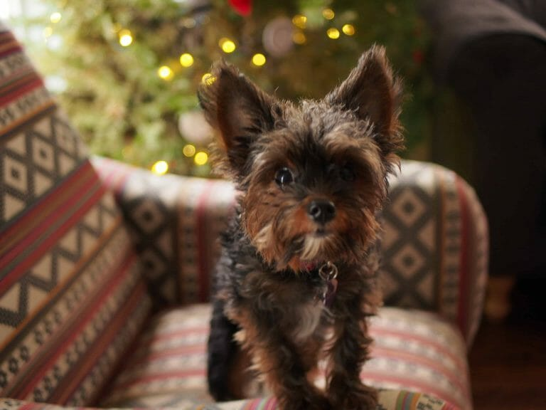 How to Take Care of a Yorkipoo (Owner's Guide)