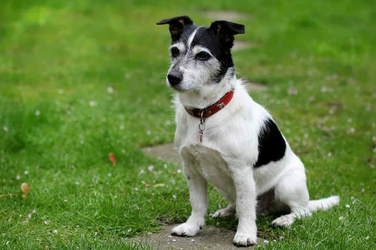 How to Tell If a Jack Russell Terrier Is a Purebred