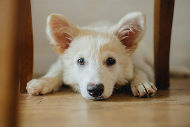 how do dogs show emotion anxious
