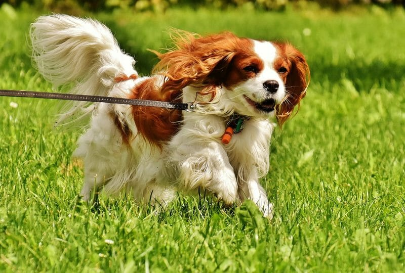 Best Dog Breeds for Small Spaces | Cavalier King Charles Spaniel