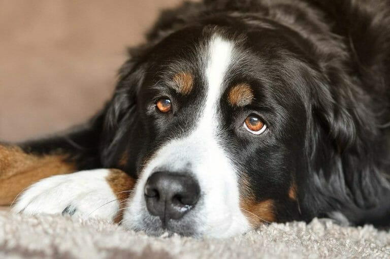 How to Groom a Bernese Mountain Dog (Complete Guide)