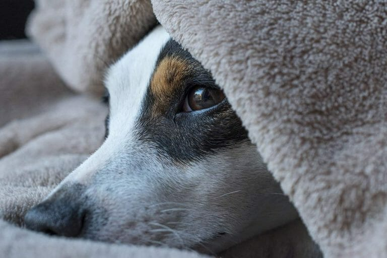 Are Jack Russells Easy to Train? What You Need to Know