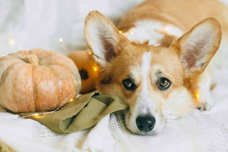 Can Welsh Corgis Swim? Here are the Facts