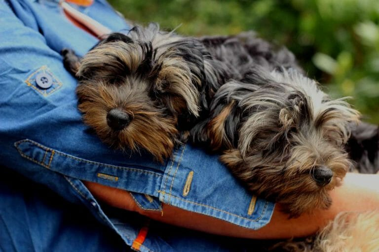 Yorkipoo Vs Toy Poodle: The Differences Explained
