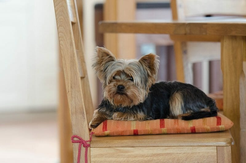 Best Dog Breeds for Small Spaces | Yorkie Yorkshire Terrier